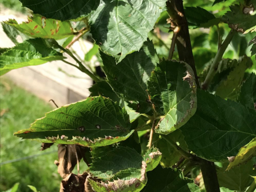 Dicamba State Laws Vary: Check State Requirements and the Label before Spraying
