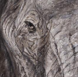 Oeil d'elephant