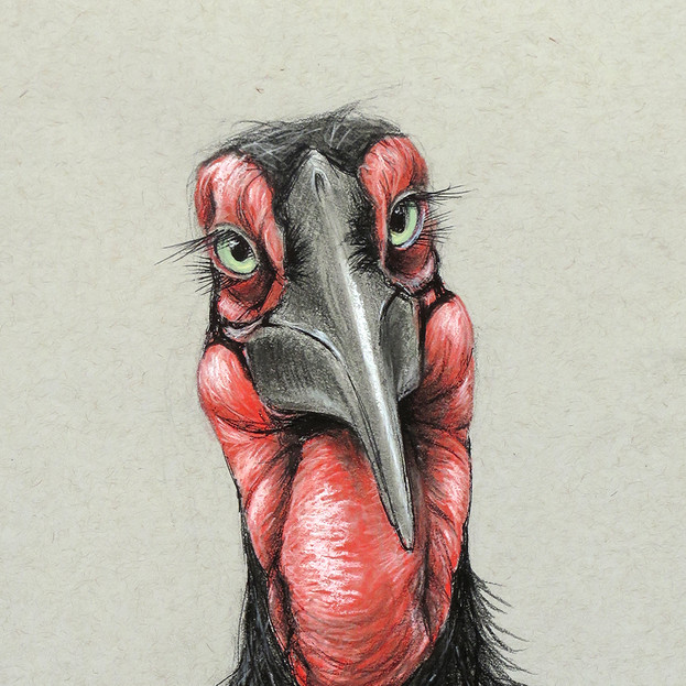 Southern Ground Hornbill for Sketch for Survival 2018