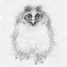 Baby Long Eared owl sketch