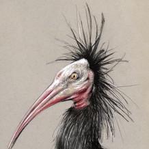 Northern Bald Ibis : Sketch for Survival, 2018
