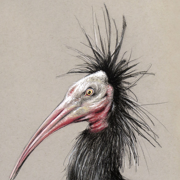 Northern Bald Ibis : Sketch for Survival