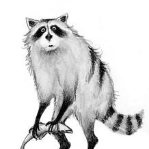 racoon for web.jpg