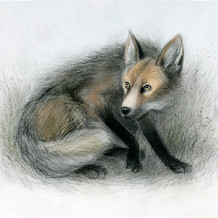 """Wary fox - inspired by the work of photographer, Joel Santore in """"National Geographic Rare : Portraits of America's Endangered Species'"""