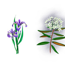 Iris Versicolour, Labrador Tea and Dogtooth Violet: The Candian Museum of Nature Ice Age Exhibit