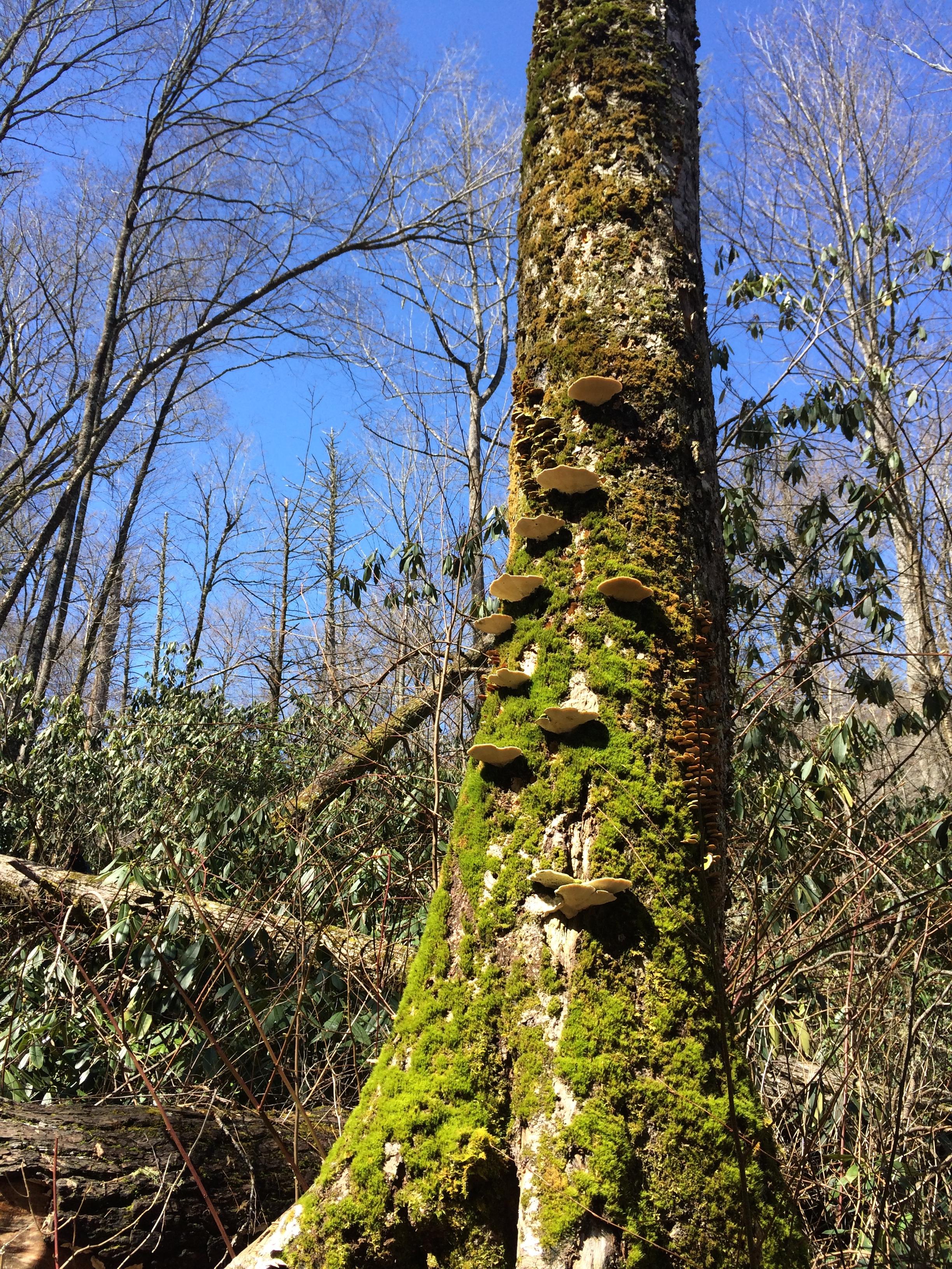 Joyce Kilmer Tree