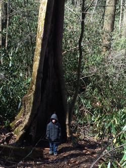Joyce Kilmer Forest Tree