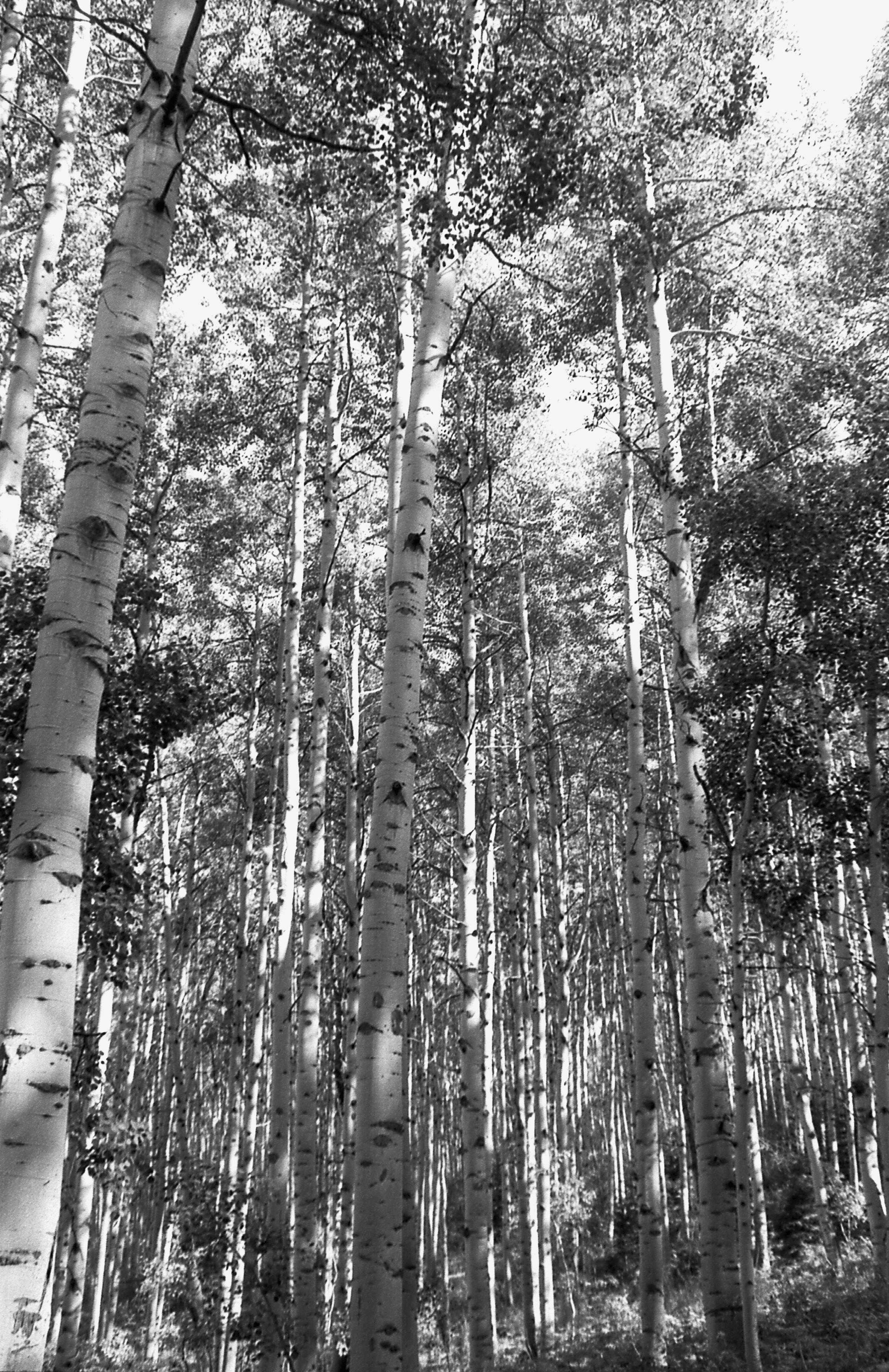 CH.Aspen Trees.CO.0804.001