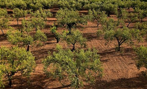 olive-trees-3622571_1920.jpg