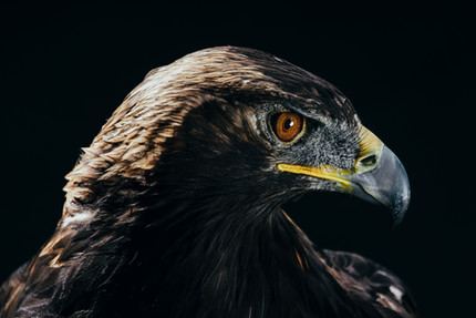 raptor for portfolio.jpg