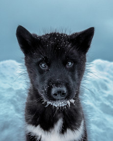 greenland dog website.jpg