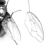 Mouse-Size-Fly Wing Development