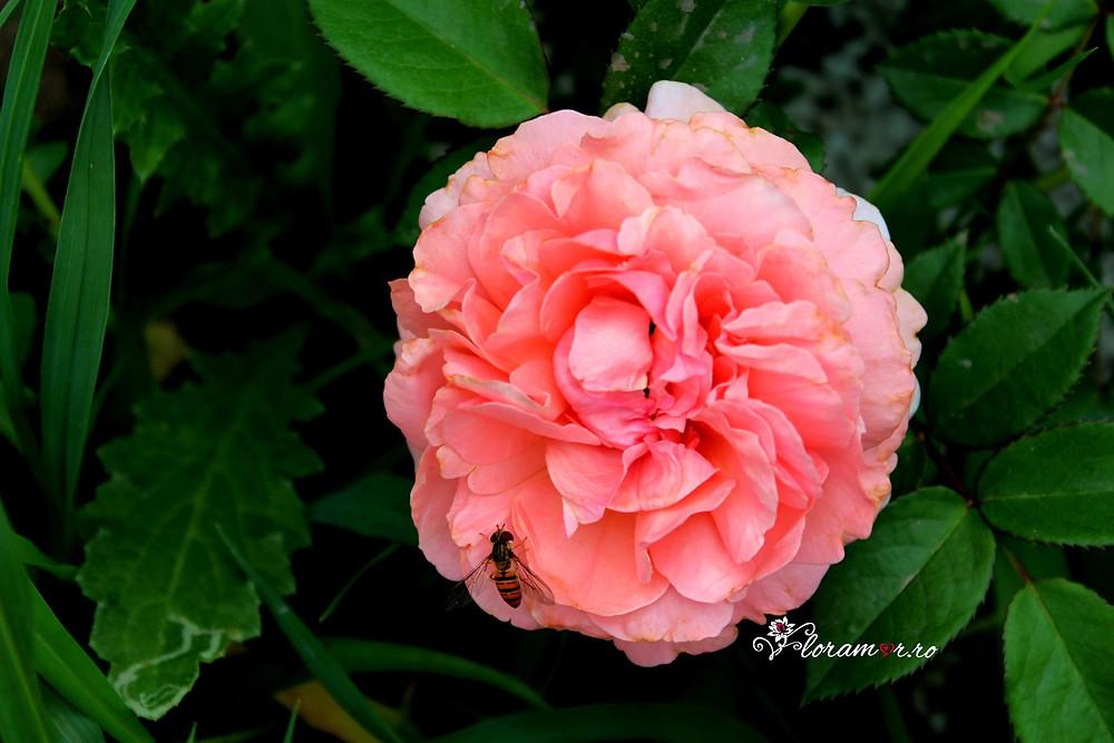 parfumul trandafirilor de gradina