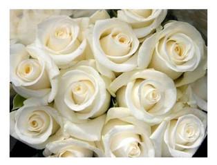 Trandafiri albi pentru buchetul de mireasa
