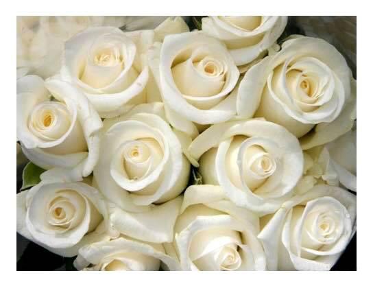 trandafiri albi ivoire