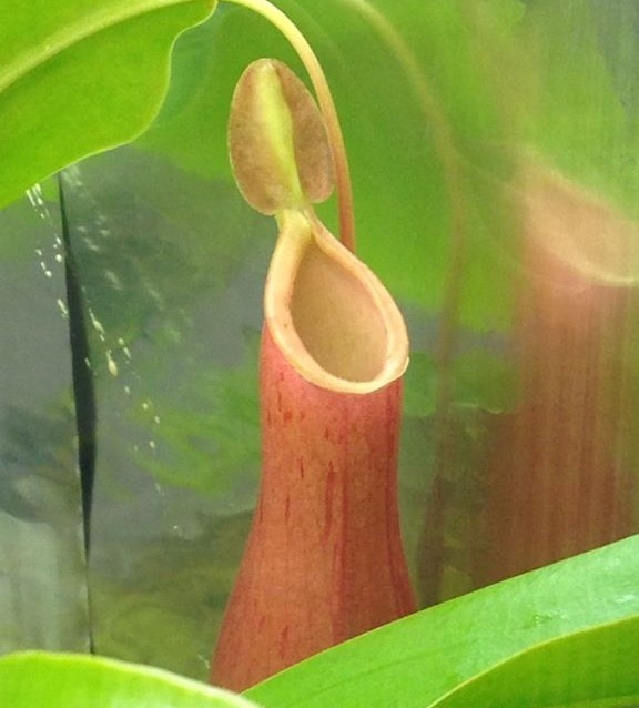 Nepenthes x Ventrata