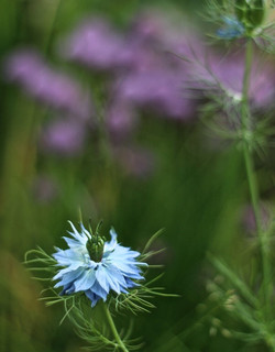 Love in a mist_edited