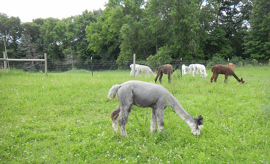 Alpacas enjoying quality care at Aargau Alpacas farm