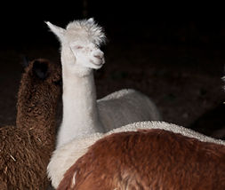 One happy alpaca living at Aargau Alpacas Farm