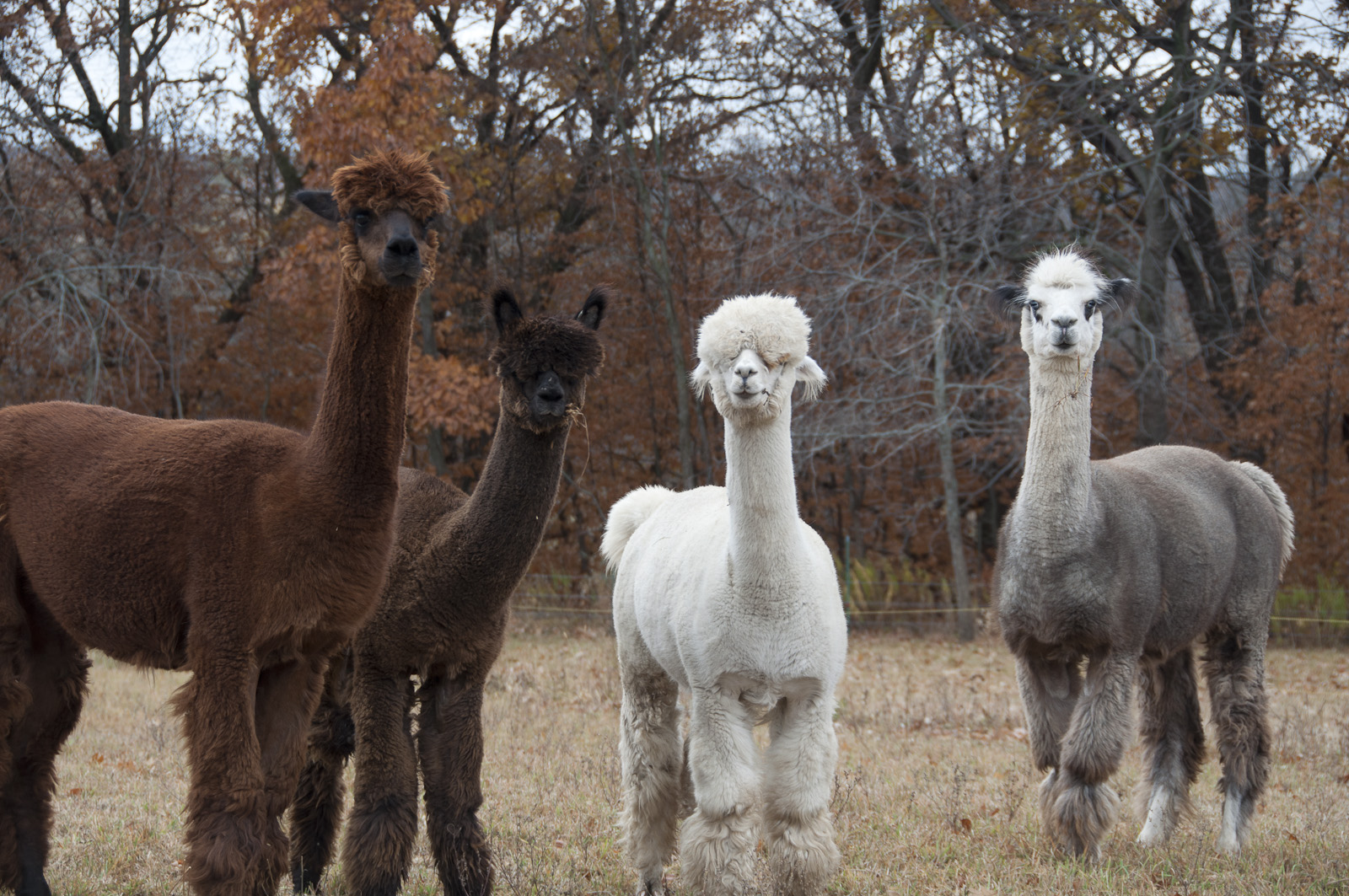 Alpacas-Screen_Resolution-©2011-Colby_Abazs-www.colorlightphotography.com-0707