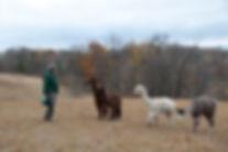 Laurie and four alpaca fiber boys at Aargau Alpacas Farm