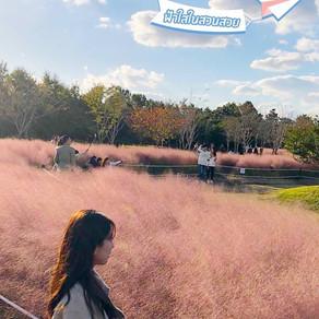 ถ่ายรูปดอกหญ้าสีชมพูสวยๆที่ สวนสาธารณะอุลซุกโด (Eulsukdo Ecological Park)