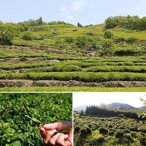 ฮาดงดาวอน ชาเขียวที่ปลูกอยู่บนพื้นที่หลวง