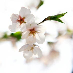 ชมดอกพ็อดกดบานในกรุงโซล (ตอน 2)