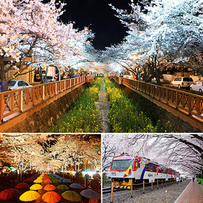 ชมดอกพ็อดกดที่บานทั่วเมืองจินแฮ (Jinhae: Cherry Blossoms Everywhere)