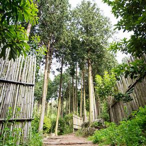 ป่าต้นไซเปรซ จองนัมจิน (Jeongnamjin Cypress Forest Woodland)
