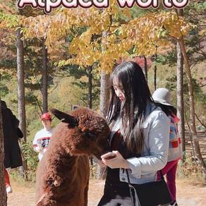 ชมความน่ารักของอัลปาก้ากันที่อัลปาก้าเวิร์ล (Alpaca World)
