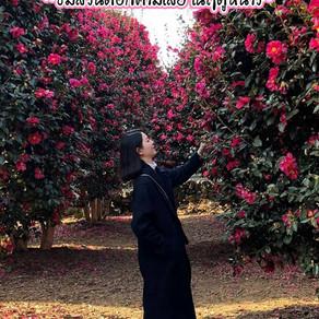 ชมดอกไม้ในฤดูหนาวที่สวนดอกคามิเลียบนเกาะเชจู : Wimi Camellia Forest