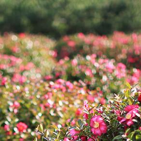 สวนสมุนไพรเชจู ที่นี่จะได้ทั้งชื่นชมความสวยงาม แสงสี และสมุนไพร
