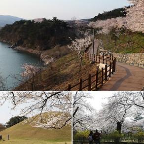 ชมดอกพ็อดกดบานตลอดเส้นทางในเมืองคยองจู (Gyeongju: Walking along Cherry Blossom Trails)