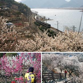 ชมดอกแอพิคอทบาน ริมแม่น้ำนักดงคัง