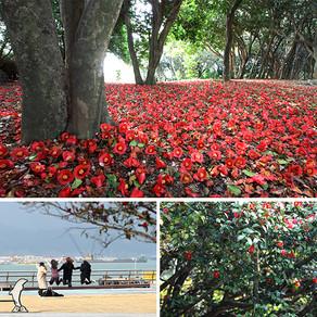 คลื่นสีแดงสดใสของดอกคาเมลเลีย ที่เกาะโอดงโด เมืองยอซู