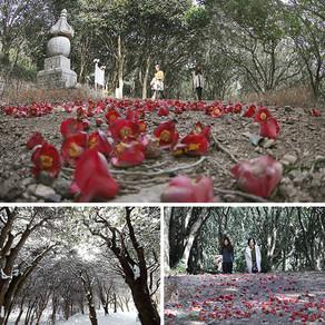 เดินชมป่าต้นคาเมลเลียที่วัดแบงนยอนซา เมืองกังจิน