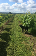 Summer 2016 Wine Harvest
