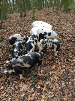 pig woodland