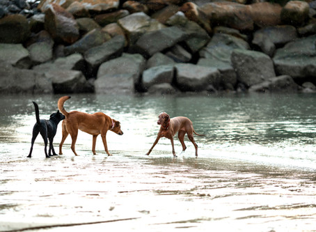 The ONE Thing You Need to Know About Integrating a New Dog Into Your Pack