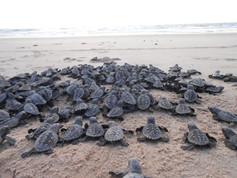 Ecoassociados | Filhotes de Tartarugas de Pente