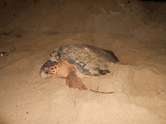Ecoassociados | Tartaruga cabeçuda