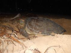 Ecoassociados | Tartaruga Verde