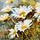 Thumbnail: Daisy Flowers - 3/5 Complexity