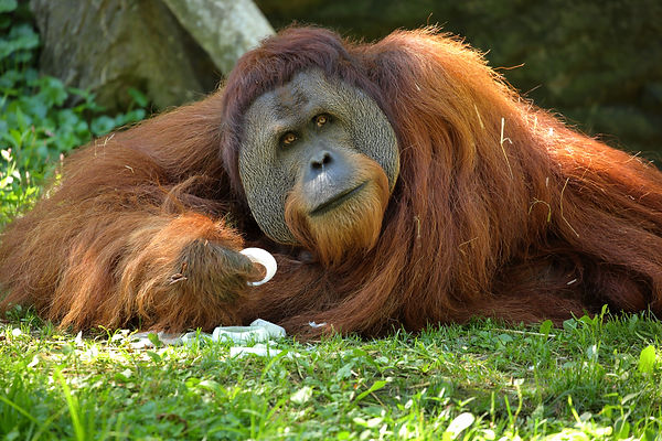Orangutan eating.JPG