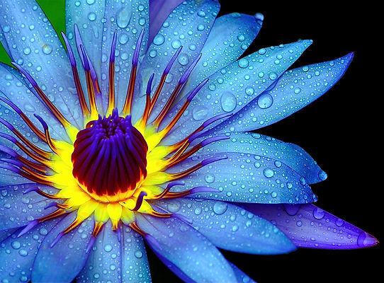 Blue Beauty Water Lily.jpg