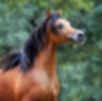 Straight Egyptian Arabian Sales Horses