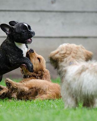 playing-puppies-790638_1920.jpg
