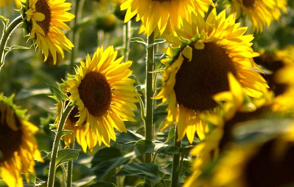 Sonnenblumen Flyer.jpg