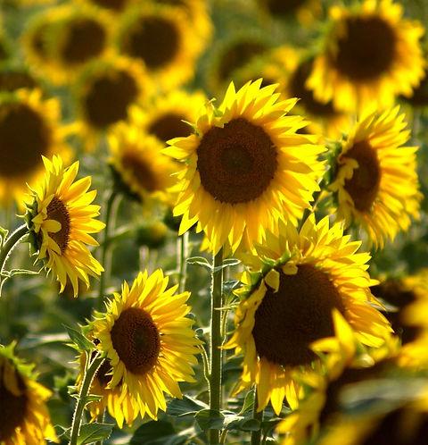 Sonnenblumen Flyer Quadrat.jpg